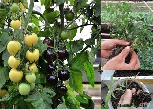 Trồng cà chua đen. Ảnh: nuoitrong123.com