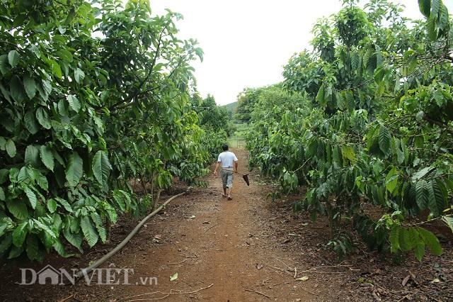 Những hàng cà phê được trồng cách xa nhau, tạo điều kiện thuận lợi khi chăm sóc và thu hoạch. Ảnh: Văn Long.