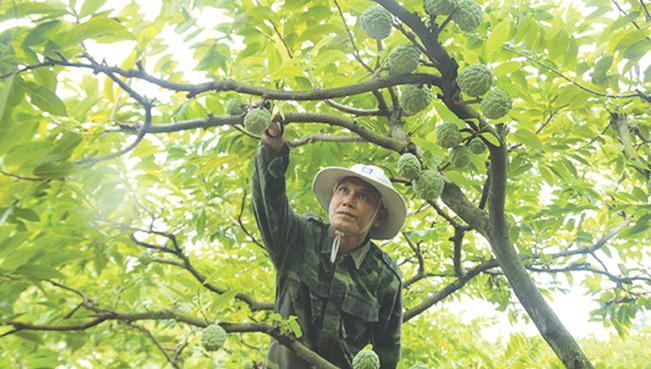 Cách chăm sóc cây Na Thái cần đặc biệt chú ý tới sâu rệp bám. IT