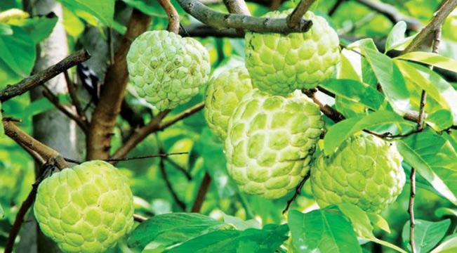 Trái Na Thái thơm ngon, quả mọng, có trọng lượng trung bình từ 0,5kg đến 1kg; tỷ lệ hạt thấp hơn so với nhiều giống Na khác. IT.