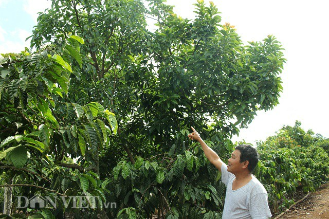 Ông Đỗ VănToàn giới thiệu mô hình trồng cà phê xen bơ cho năng suất cao trong vườn của mình. Ảnh: Văn Long.