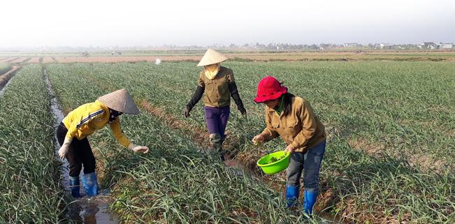 Nông dân xã Đông Hưng chăm bón, theo dõi sâu bệnh hàng ngày cho cây hành và tỏi.