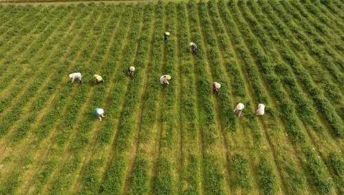 Người nông dân Triệu Sơn canh tác trên vùng trồng cà gai leo cho hiệu quả kinh tế rõ rệt.