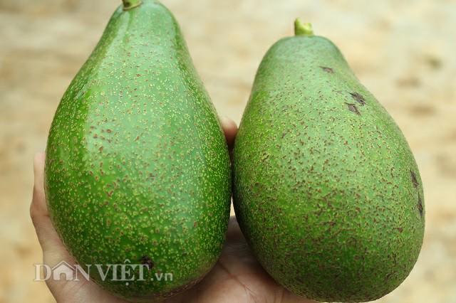Hai quả bơ sáp vàng nặng 1,5 kg trong vườn của ông Toàn. Ảnh: Văn Long.
