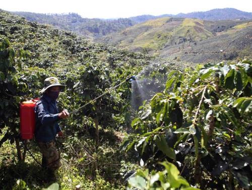 Nhân rộng cây trồng xen trong vườn cà phê. (Ảnh: TTXVN)