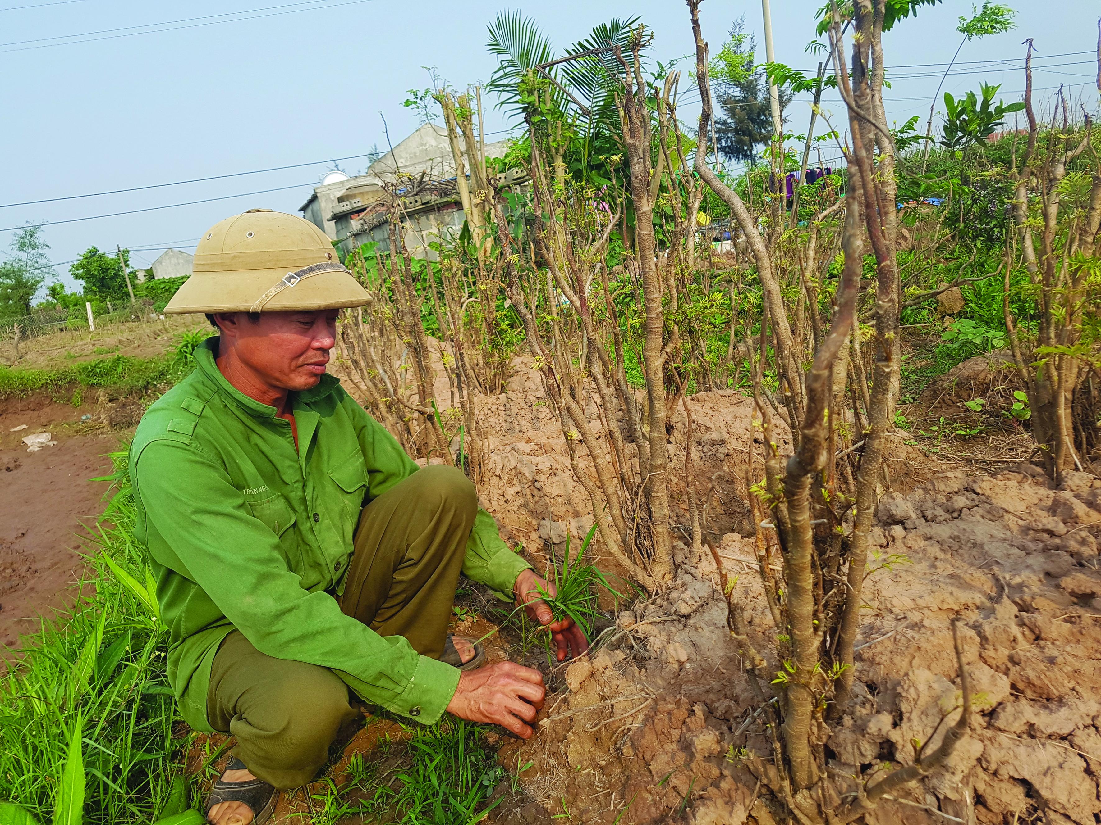Nhờ được vay vốn Quỹ HTND, gia đình ông Vũ Ngọc Quý, thôn Quần Phương, xã Nghĩa Bình, huyện Nghĩa Hưng (Nam Định) đã phát triển mô hình trồng đinh lăng.