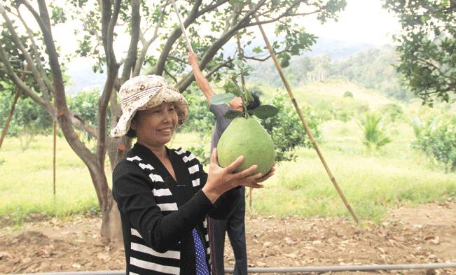 Nông dân xã Phước Bình,huyện Bác Ái, tỉnh Ninh Thuận thoát nghèo nhờ trồng giống bưởi da xanh.