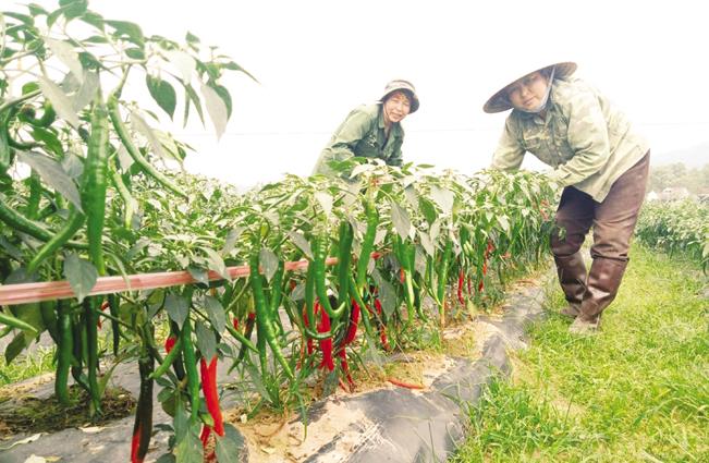 Mô hình trồng ớt xuất khẩu ở xã Thượng Bì, huyện Kim Bôi.