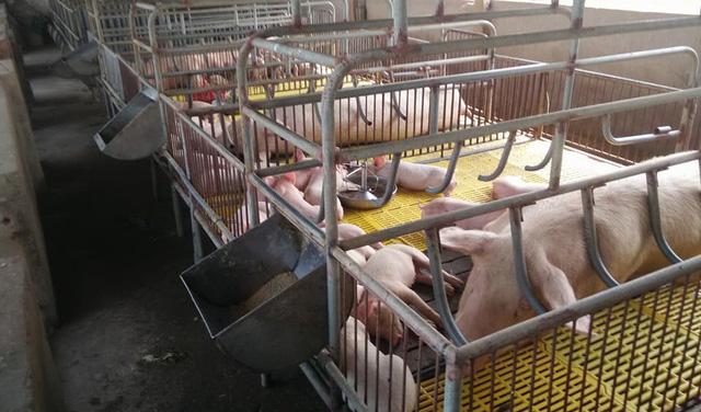 Để tái đàn hiệu quả, người chăn nuôi lợn cần lưu ý vệ sinh phòng chống dịch bệnh, chọn thức ăn và con giống tốt.