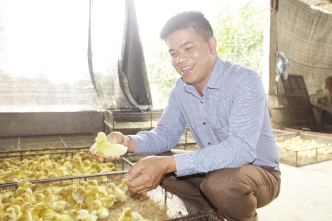 Trung bình mỗi ngày gia đình anh Thắng cung cấp ra thị trường gần 30.000 con vịt giống.