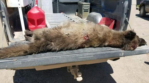 Chân trước của nó nhỏ bất thường so với một con sói - Ảnh từ Cục Cá, Động vật hoang dã và Công viên Montana.