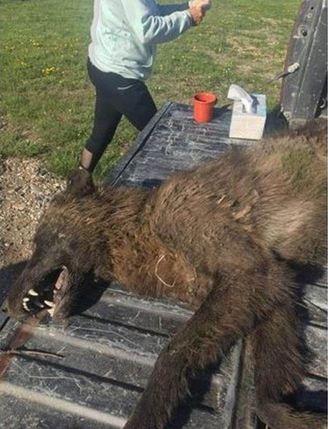 Các chuyên gia cho biết hình thể của nó rất khác một con sói thuần - Ảnh từ Cục Cá, Động vật hoang dã và Công viên Montana.