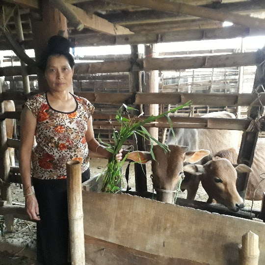 Đa số hội viên nông dân vay vốn Quỹ HTND để chăn nuôi trâu, bò sinh sản. VC