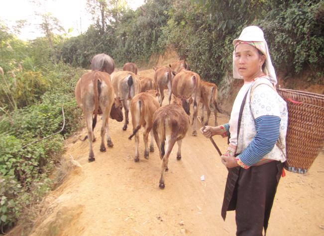 Nông dân xã Tỏa Tình (huyện Tuần Giáo, Điện Biên) chăm lo phát triển đàn gia súc hàng hóa có giá trị kinh tế cao.