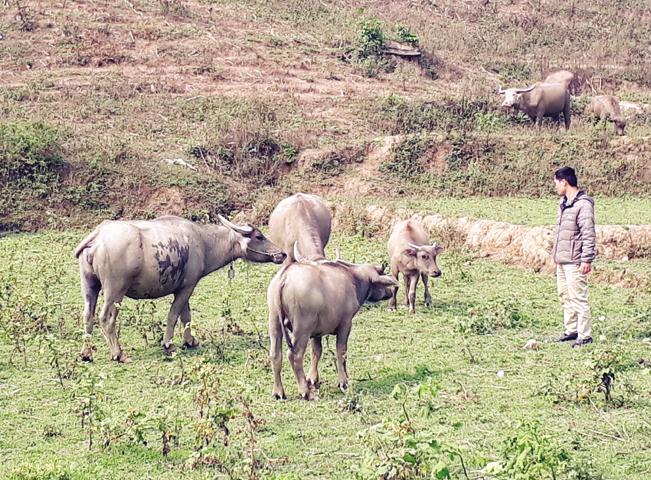 Tà Lèng chú trọng phát triển đàn gia súc để nâng cao thu nhập cho người dân.