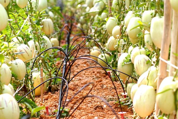 Tuy nhiên, dưa pepino tím khó trồng, trái ít và tốn công chăm sóc nhiều hơn so với những loại cây trồng khác. (Ảnh: Zing).