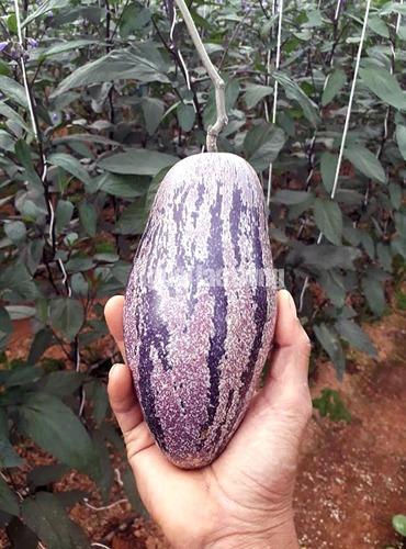 Anh Nguyễn Định cũng là người trồng thành công giống dưa Pepino vàng sọc tím độc nhất Việt Nam, gây