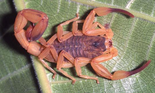 Loài bọ cạp vàng (tên khoa học là Tityus serrulatus) đặc biệt nguy hiểm chết người. Ảnh: Guardian