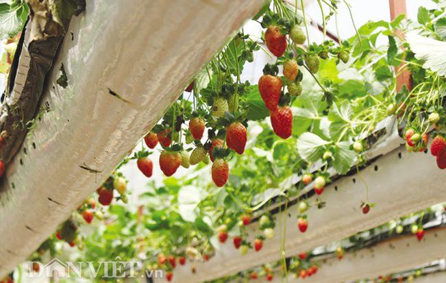 Mỗi năm gia đình anh Trúc thu lãi hàng tỉ đồng nhờ trồng dâu tây lơ lửng và làm du lịch từ vườn dâu tây này.