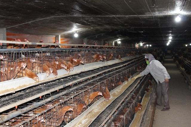 Trang trại nuôi gà của anh Nguyễn Trung Dũng, xã Thủy Xuân Tiên, huyện Chương Mỹ được đầu tư cơ giới hóa đồng bộ.