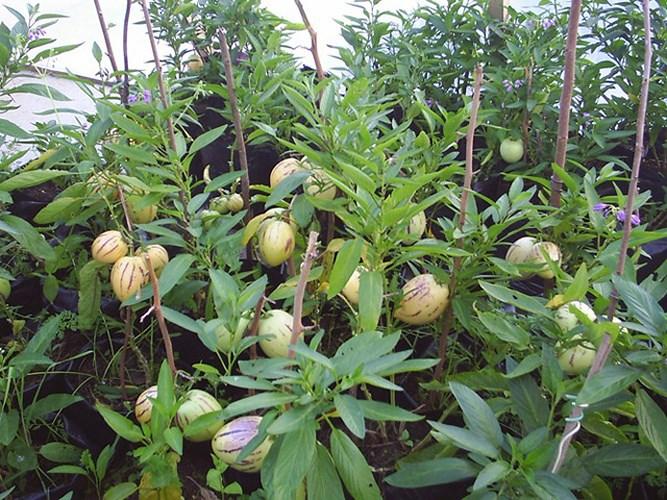 Dưa pepino tím kháng bệnh rất tốt nhưng người trồng phải chú ý đến việc cắt tỉa cành non. Nếu chăm sóc đúng kỹ thuật, loại dưa pepino có thể cho thu hoạch liên tục trong 2 - 3 năm. (Ảnh: Dân Việt).