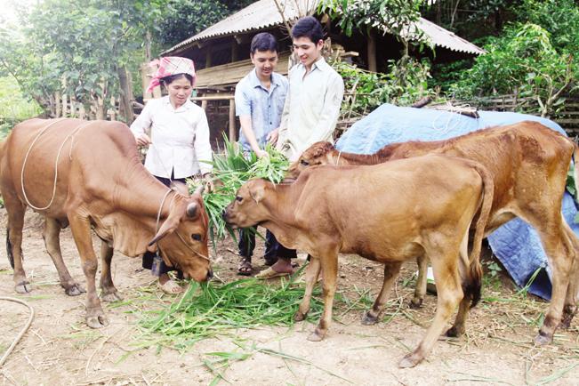 Từ nguồn vốn vay của Ngân hàng CSXH, nhiều hộ đã tập trung phát triển chăn nuôi đại gia súc vươn lên thoát nghèo.