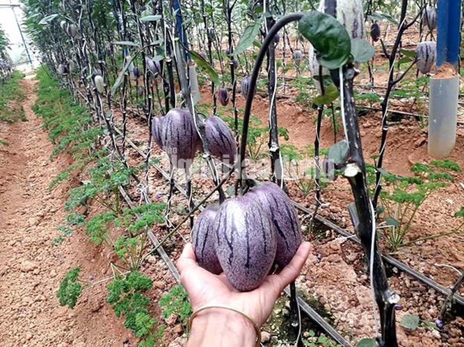 Sau 3 tháng mày mò, anh Nguyễn Định đã trồng thành công giống dưa pepino tím, không chỉ đẹp mắt, giàu chất dinh dưỡng mà còn độc lạ nhất Việt Nam. (Ảnh: Người Lao động).