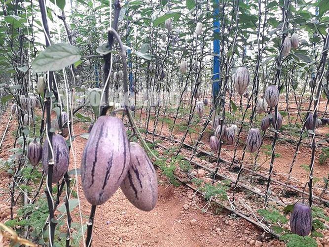 Loại dưa pepino tím này cung cấp dồi dào chất chống oxy hóa, dễ dàng tiêu hóa giúp giảm táo bón và xoa dịu vết loét dạ dày. (Ảnh: Người Lao động).