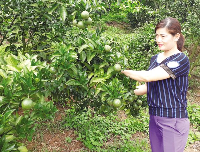 Cây có múi được trồng nhiều ở Mộc Châu.