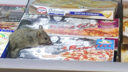 Đợt nắng nóng kéo dài khiến chuột sinh sản và di chuyển lên mặt đất. Ảnh: Facebook