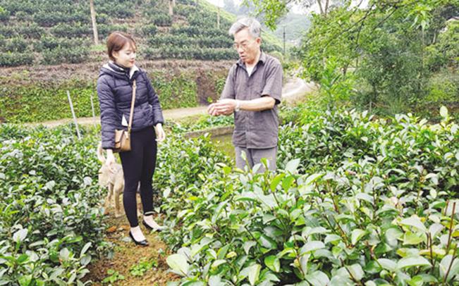 Ông Dung giới thiệu về giống chè quý gia đình mình đang trồng. H.Y