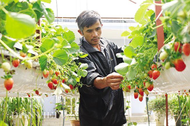 Vườn dâu tây lơ lửng với từng chùm quả đong đưa mang lại nguồn thu hàng tỉ đồng mỗi năm cho gia đình anh Trúc.