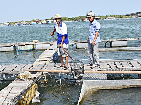 Anh Phạm Hữu Nhiều (tiểu khu 2, sông Chà Và) kiểm tra tình trạng sức khỏe của cá nuôi trên bè.