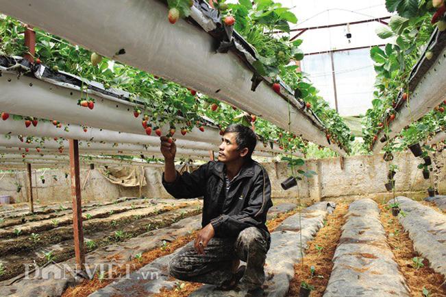 Dâu tây là loại cây mà anh Nguyễn Thanh Trúc chọn khi chuyển đổi giống cây trồng.