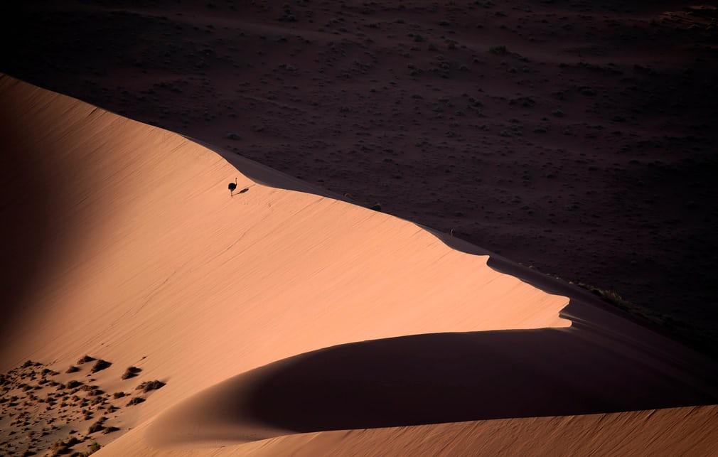 Bức ảnh chiến thắng ở hạng mục Chim trong thiên nhiên của nhiếp ảnh gia người Tây Ban Nha Salvador Colvée chụp một con đà điểu châu Phi đi một mình giữa sa mạc cát.