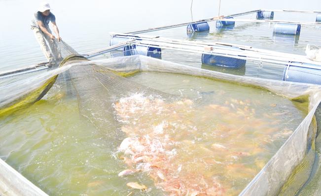 Mô hình nuôi cá lồng bè ở thủy điện Sông Tranh 2 cho thu nhập cao. Trương Hồng