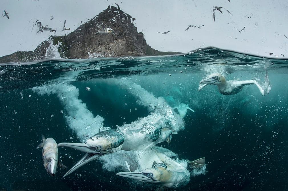 Bức ảnh chiến thắng ở hạng mục Tập tính loài chim và đồng chiến thắng ở hạng mục People's Choice Award của nhiếp ảnh gia người Anh Richard Shucksmith chụp cảnh đàn ó biển phương Bắc săn mồi.