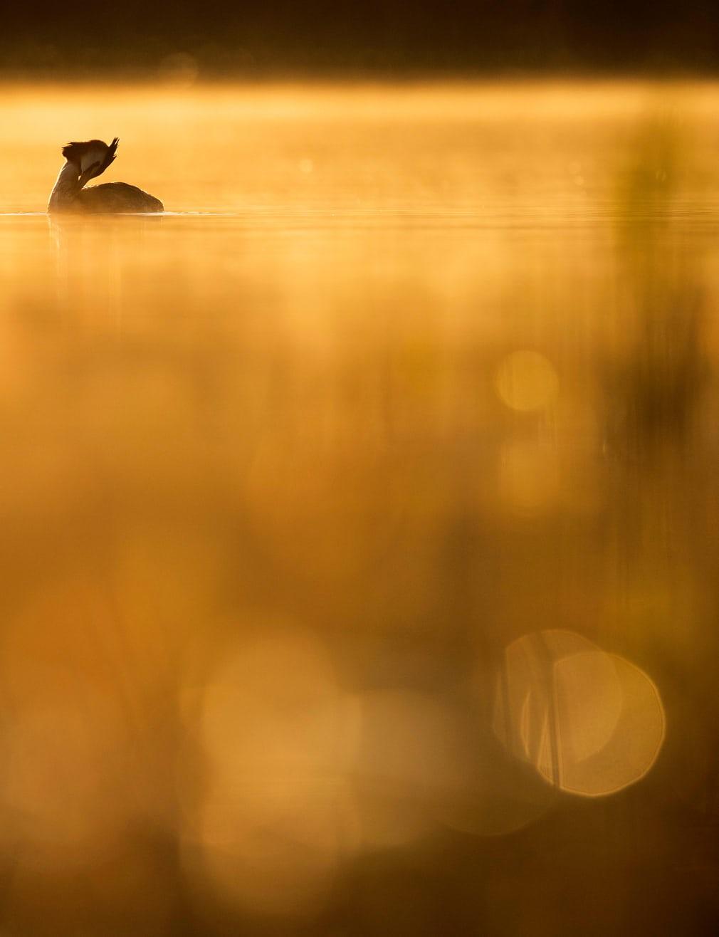 Nhiếp ảnh gia Johan Carlberg đến từ Thụy Điển chiến thắng ở hạng mục Nhiếp ảnh gia trẻ tuổi với tác phẩm chụp một con chim lặn mào lớn đang rỉa lông trên mặt nước.