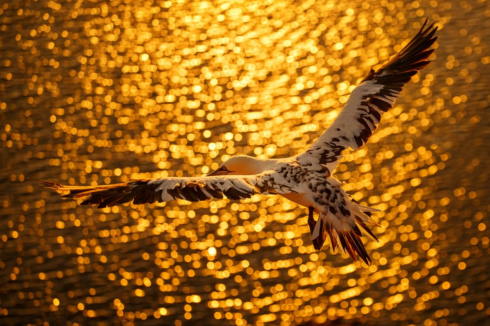 Hồ sơ dự thi của Petr Bambousek còn có thêm các hình ảnh ấn tượng khác như tác phẩm chụp một con chim ó biển phương Bắc sải rộng cánh bay dưới ánh nắng vàng ấm áp này.