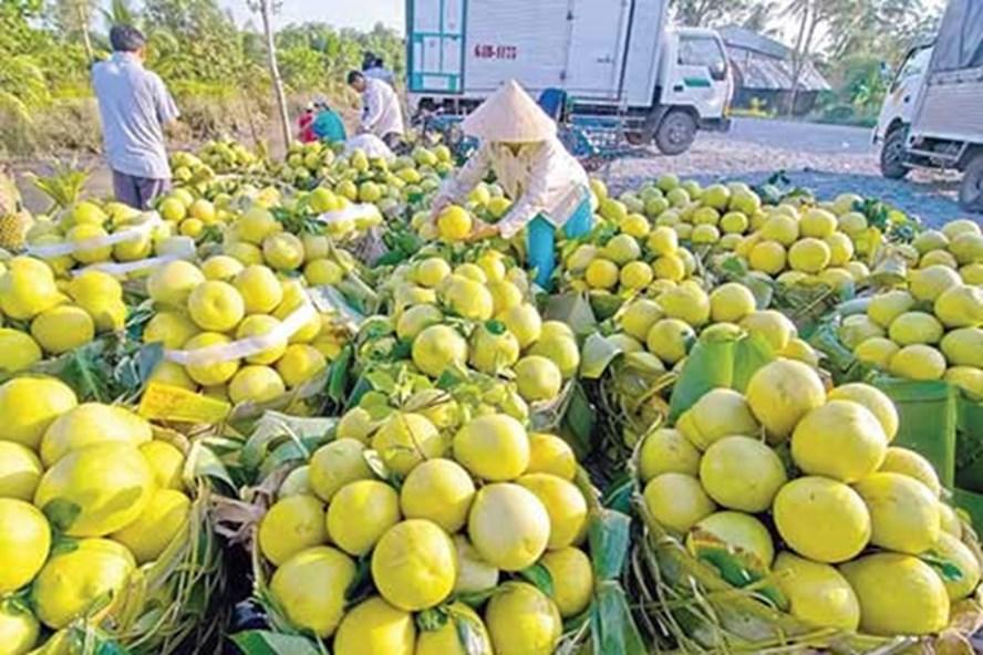 Chỉ riêng tỉnh Đồng Tháp, diện tích trồng xoài đã xấp xỉ 9.000ha, sản lượng bình quân 90.000 tấn trái/năm. Ảnh: TTXVN