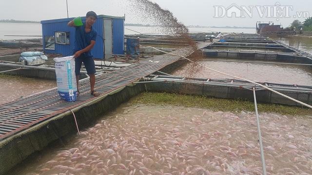 Lồng bè nuôi cá rộng hơn 1.200 m2 trên sông Hồng đoạn chảy qua xã Mỹ Tân của gia đình anh Chu Văn Hoàn.