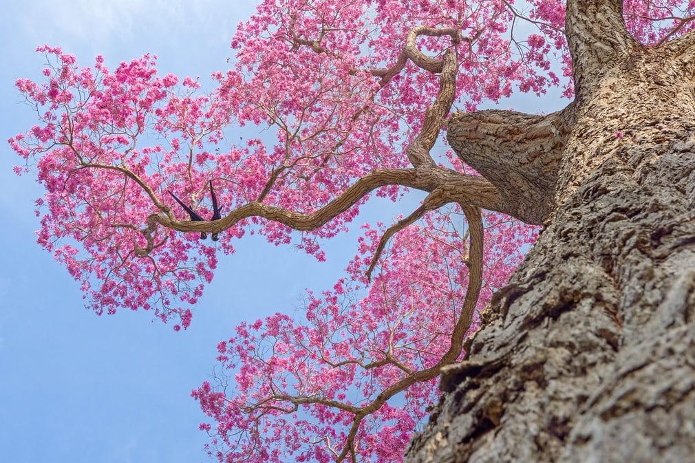 Bức ảnh chụp hai con vẹt đuôi dài lam tía đậu trên cành cây trổ hoa rực rỡ giúp nhiếp ảnh gia Petr Bambousek đoạt giải đồng ở hạng mục Chim trong thiên nhiên.