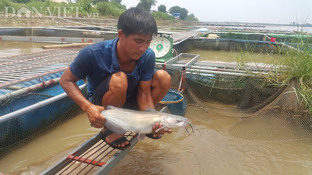 Nhờ nuôi cá lăng trên sông Hồng mà mỗi năm gia đình anh Hoàn kiếm được hàng trăm triệu đồng.
