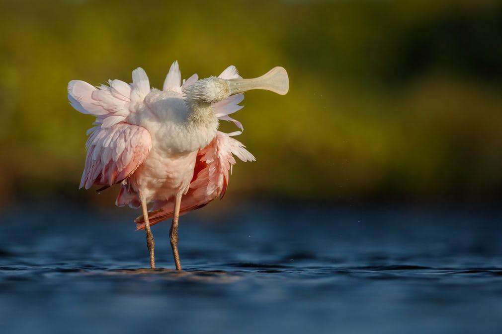 Bức ảnh chụp một con cò mỏ thìa màu hồng Roseate Spoonbill giúp nhiếp ảnh gia Petr Bambousek đến từ Cộng hòa Séc chiến thắng ở hạng mục Hồ sơ dự thi ấn tượng nhất.