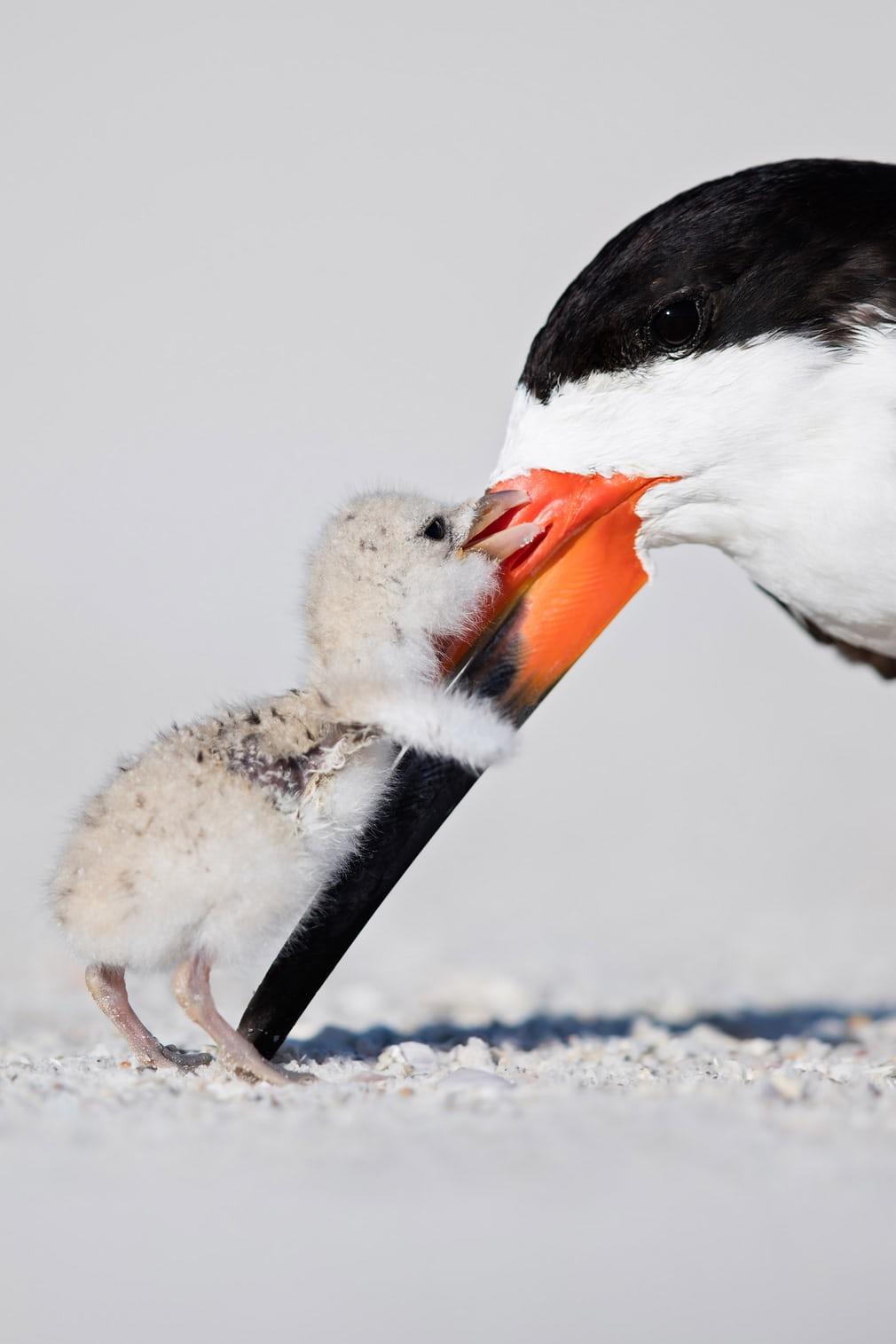 Bức ảnh chụp con chim xúc cá đen non âu yếm chim mẹ của nhiếp ảnh gia người Mỹ Thomas Chadwick đoạt giải đồng ở hạng mục Tập tính loài chim.