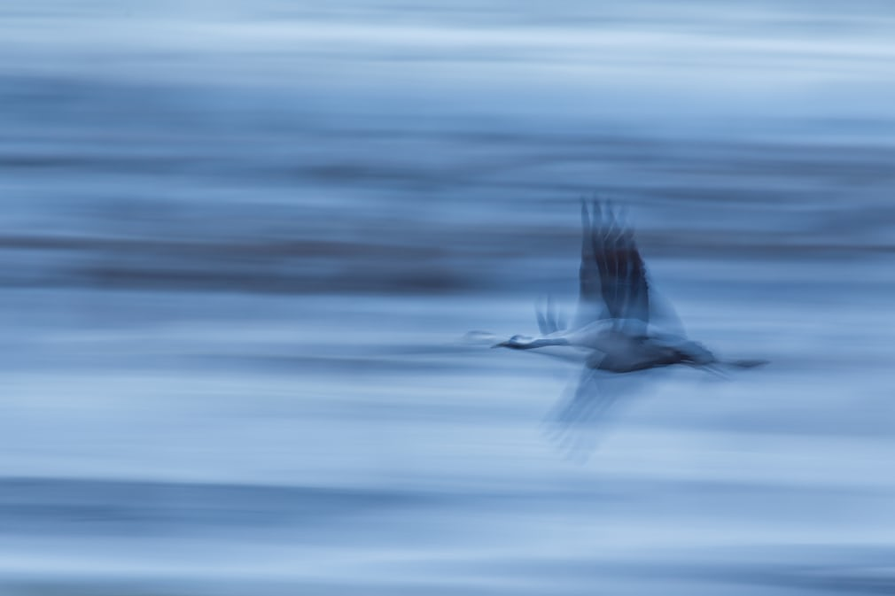 ... hay bức ảnh chụp con sếu cổ trắng đập cánh thật nhanh giữa không trung.