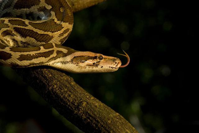 Loài trăn mới thừa hưởng các đặc điểm di truyền nổi trội của cả trăn Miến Điện và trăn Ấn Độ.