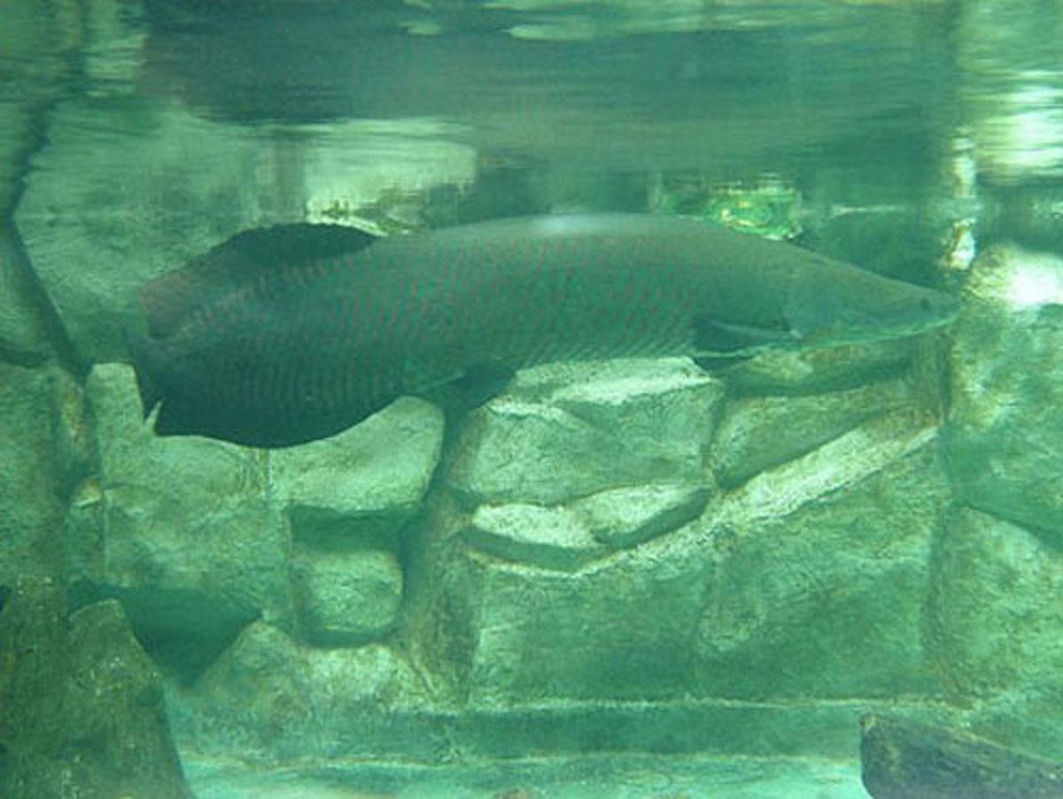 Con cá hải tượng trong bể cá nhà anh Hùng.
