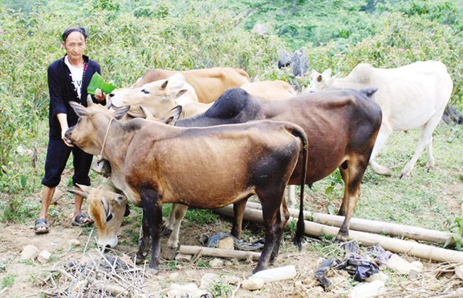 Phát triển đàn bò sinh sản từ vốn vay Quỹ HTND ở Sín Chải, huyện Tủa Chùa (Điện Biên).