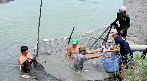 Bắt cá hô xuất bán cho thương lái ở An Giang.
